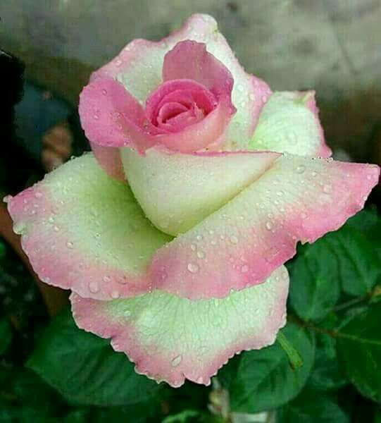 Pin On Love Roses