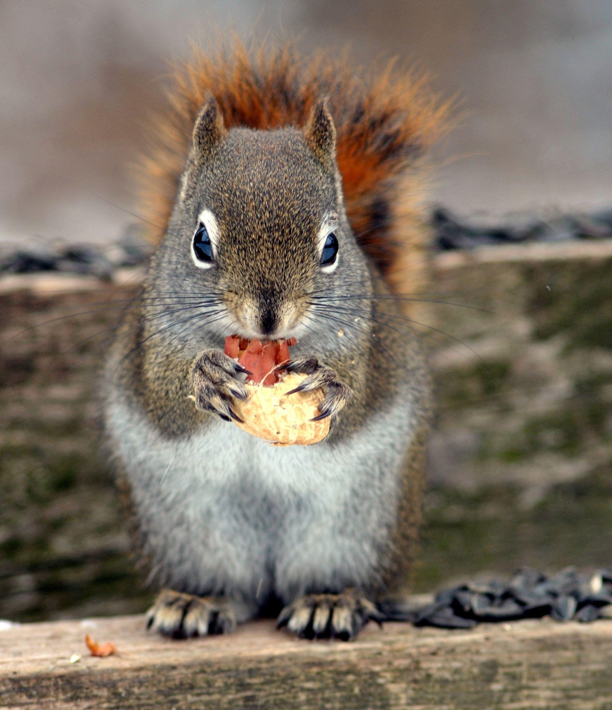 Squirrel Eating A Peanut ส ตว