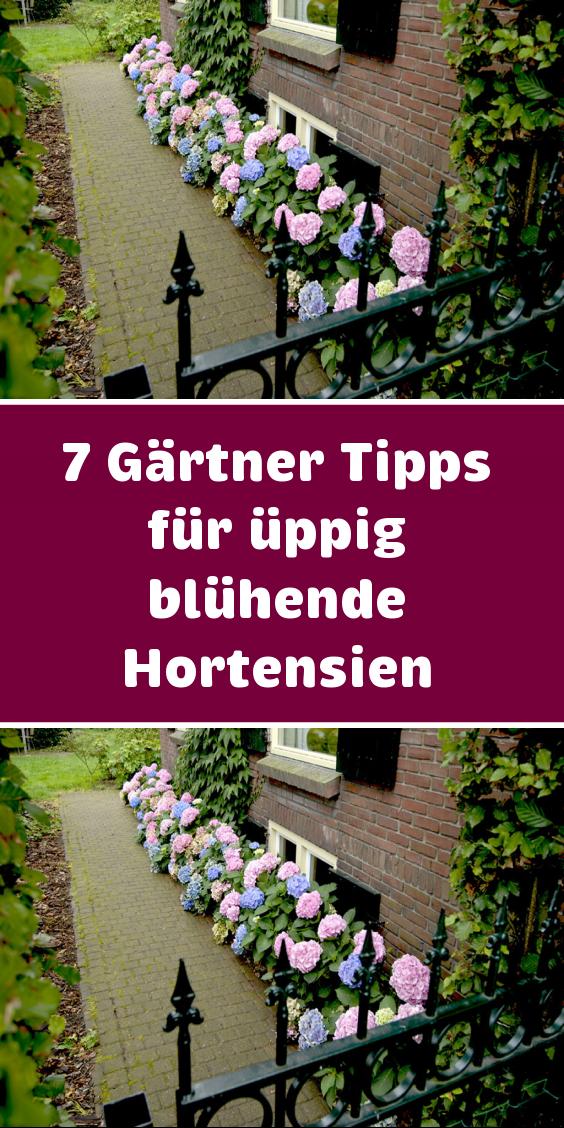 7 Gärtner-Tipps für üppig blühende Hortensien
