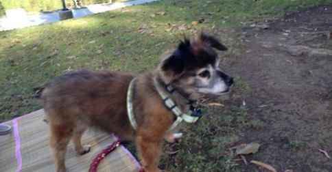 LOST DOG- Brown Chihuahua w/ White Face inlandempire.craigslist.org Lost older dog - Brown Chihuahua w/ White Face. Brown Coat w/ some black hair, white chest, white left paw, floppy ears. Approximately 13 lbs, named Smokie, doesn't have a collar. Has a cough due to... 16 SharesLike