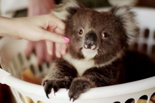 Koala laundry time