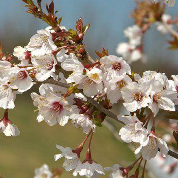 Prunus Incisa Kojo No Mai Tree Flowering Cherry Tree Cherry Plant Plants