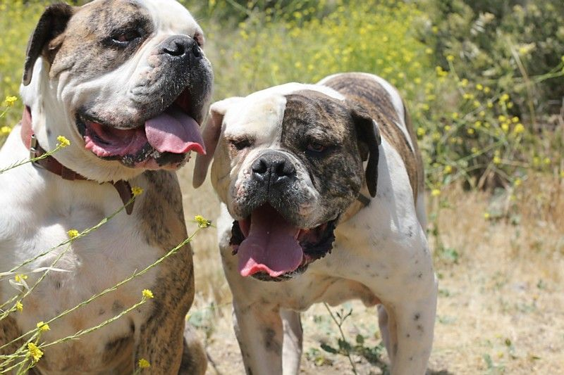 Villalobos Dogs Adopted Cheech And Chong They Are Brothers The Website Says They Are Pitt But I Think Pitbulls Villalobos Rescue Center Pitbull Rescue