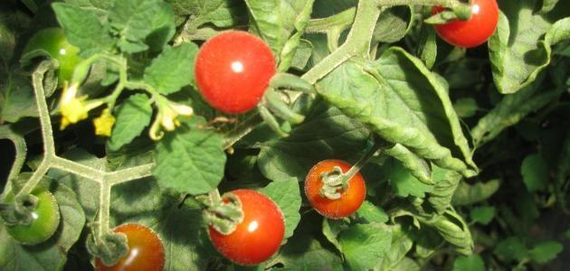 كيفية زراعة الطماطم Tomato Agriculture Cherry Tomatoes