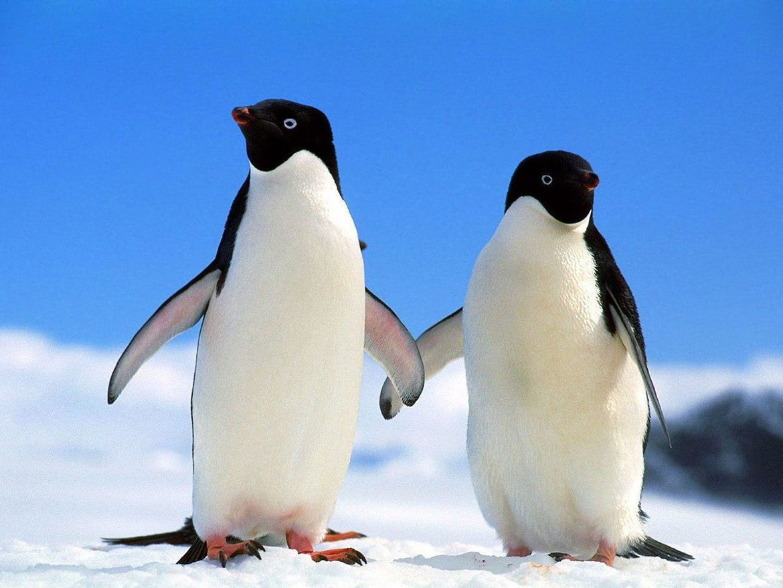 Conoce Las 10 Especies En Peligro De Extinción Por Cambio Climático Bit Ly 2ifp3g3 Telesurtv Penguins Adelie Penguin Penguins Funny