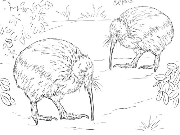 north island brown kiwi coloring page