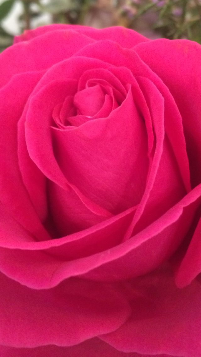 Hot pink rose by Rachel daly