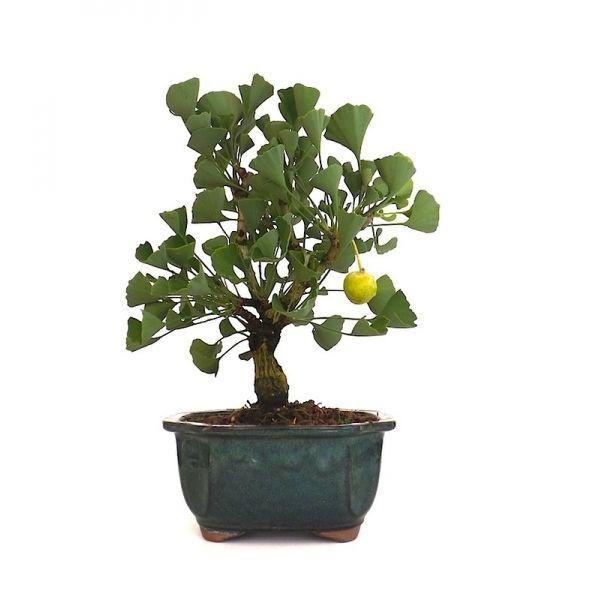 vente en ligne de bonsai ginkgo biloba femelle 35 cm gk140701 sankaly bonsa professionnel du. Black Bedroom Furniture Sets. Home Design Ideas