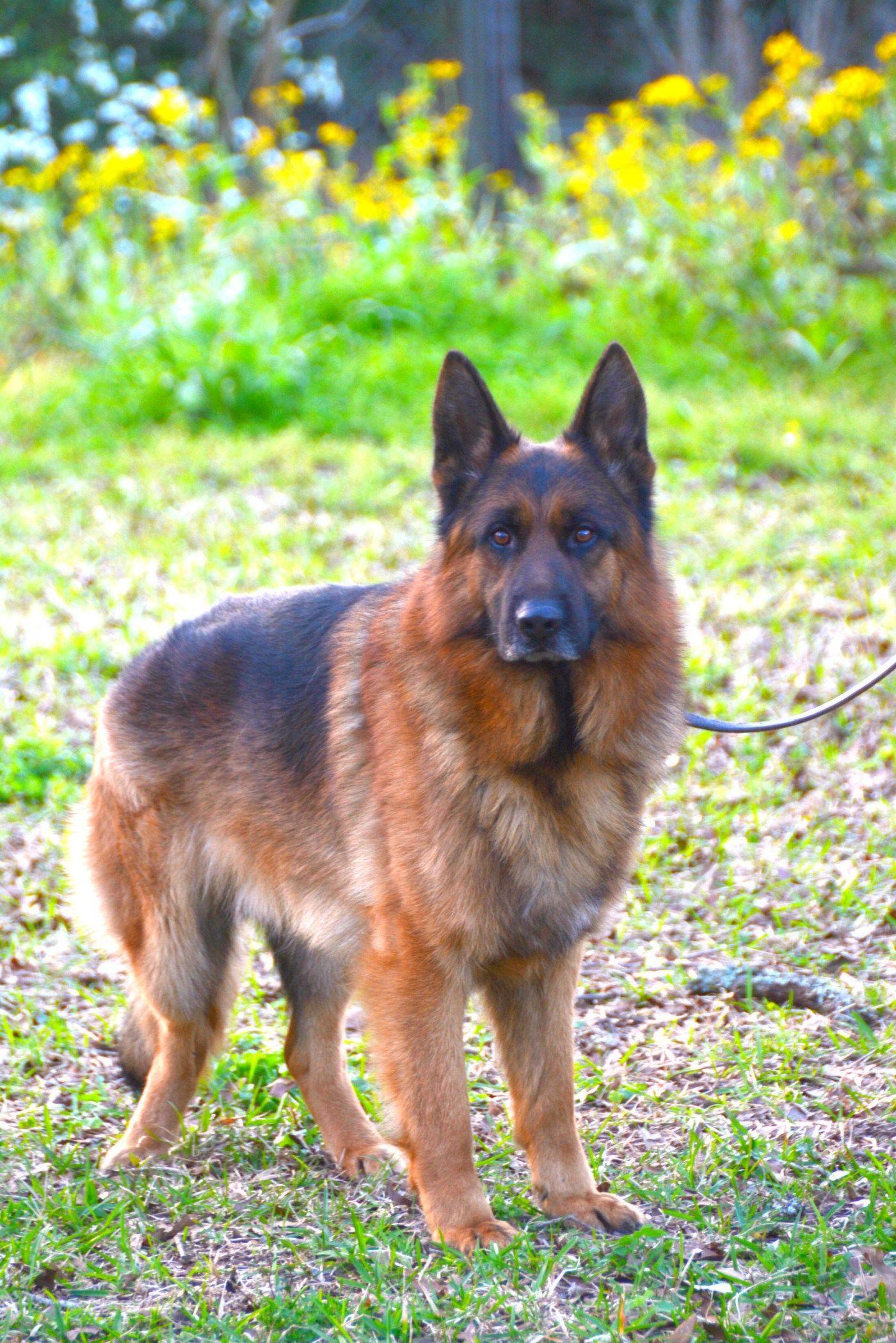 is taste of the wild dog food good for german shepherds