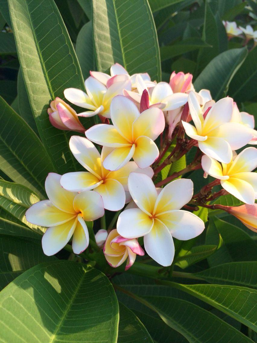 Sri Lanka Garden Life Plumeria Flowers Flowers Exotic Flowers