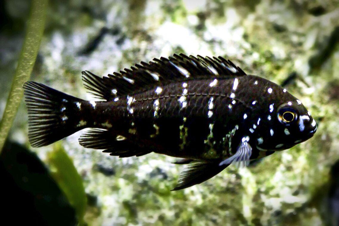 Duboisi Cichlid Scientific Name Tropheus Duboisi Lake Tanganyika Cichlids Aquarium Fish African Cichlids