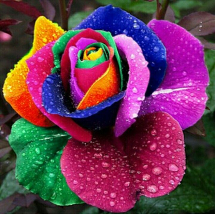 Most Popular Flowers significance of the roses * the rose, beautiful in all of its
