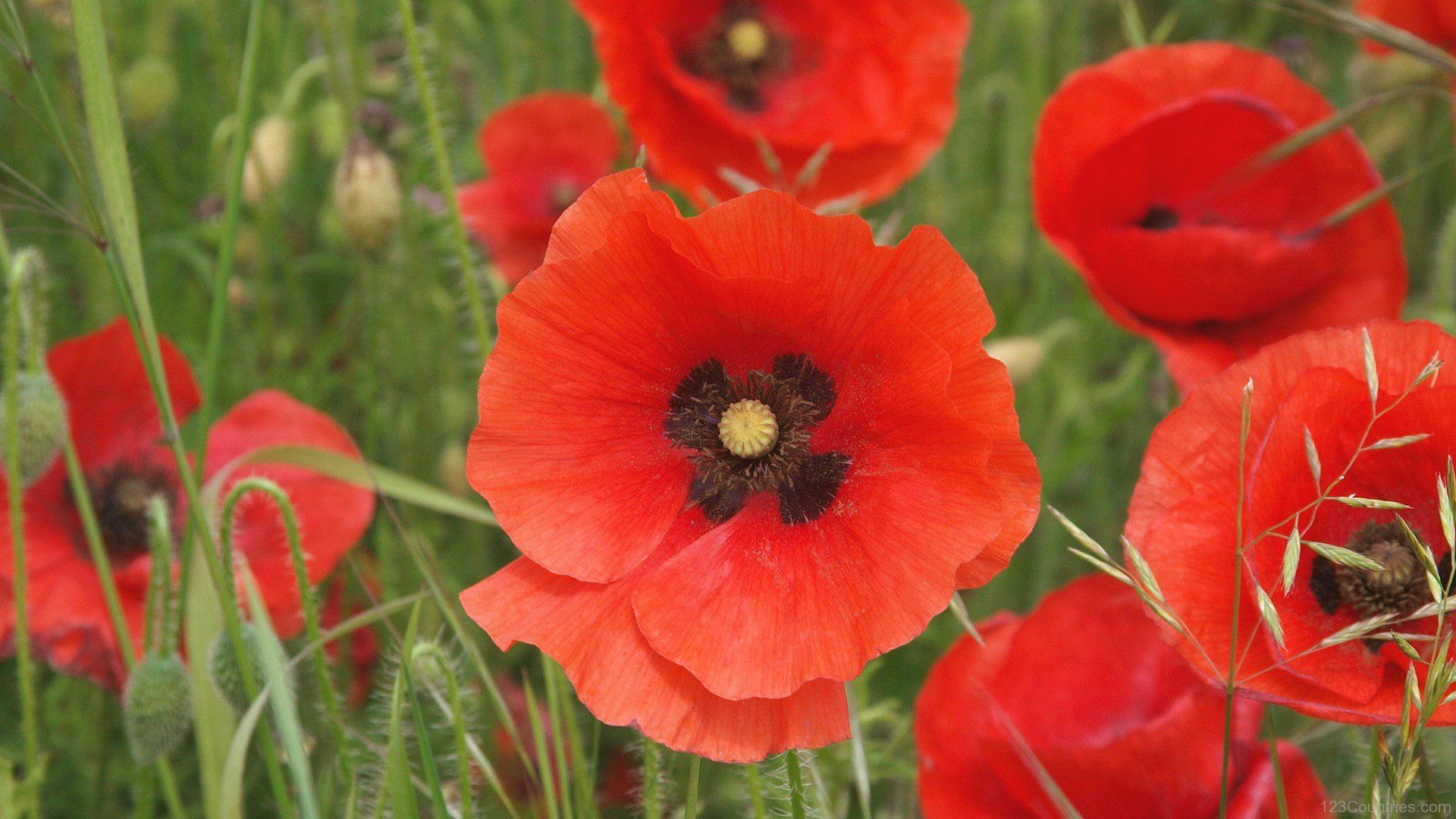 National Flower Of Belgium Red Poppy National Flowers Of The