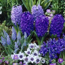 75 Count Tulipa Hyacinth Muscari Iris Anemone Bulbs Lowes Com Bulb Flowers Spring Plants Winter Plants