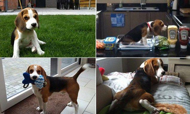 Most Inspiring Video Beagle Adorable Dog - 50a61e0f973055d4639ede246a0bcf0e  Picture_343818  .jpg