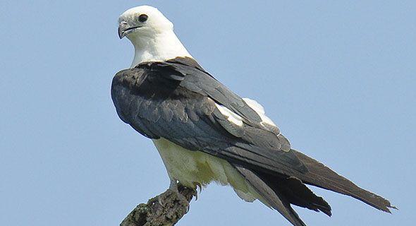Swallow Tailed Kite Http Myultimatereset Com Milesforacure Kite Birds Birds Of Prey