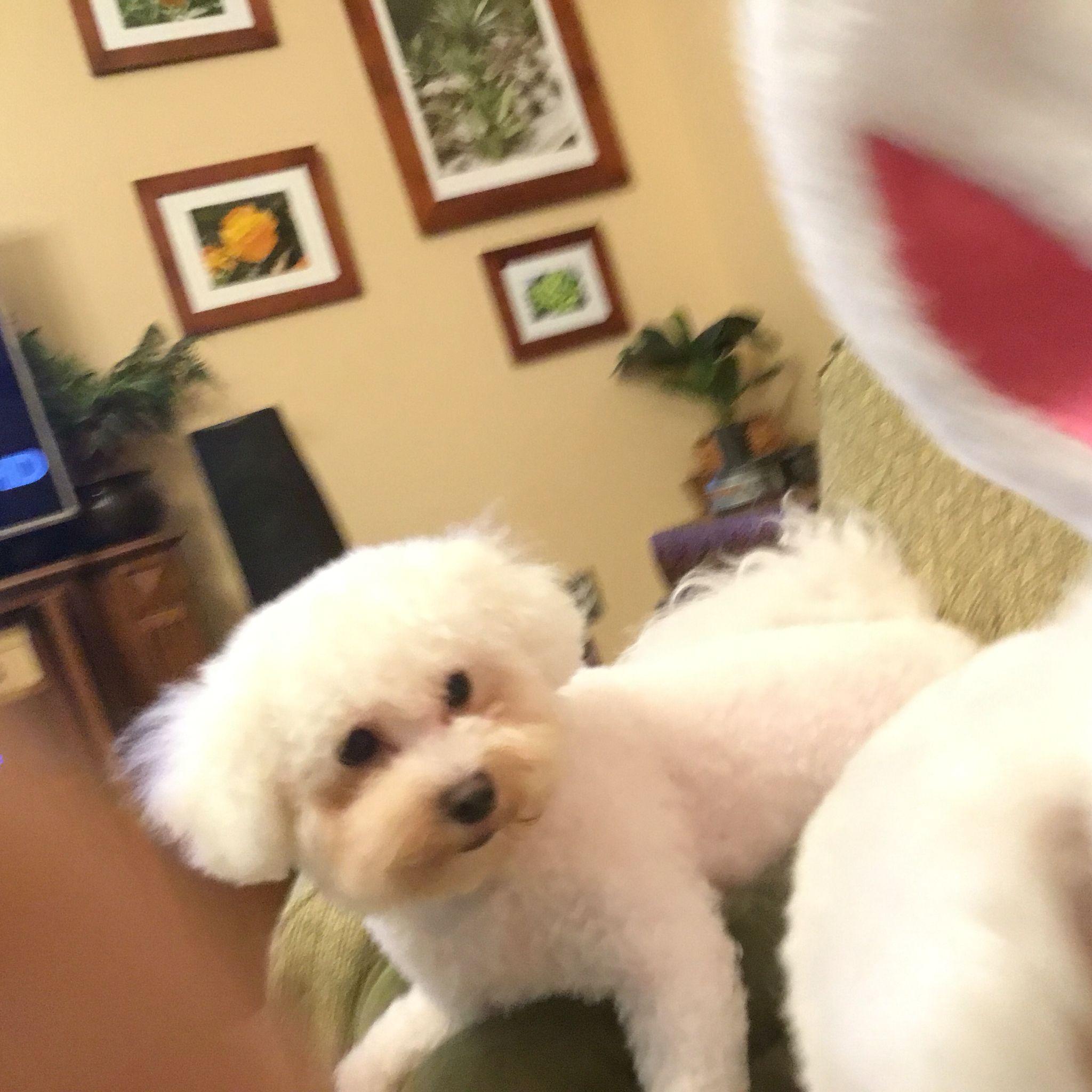 Cotton Girl and dog, Bichon frise, Bichon