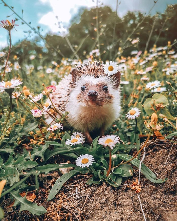 65 Pics Of Adorable Herbee The Hedgehog That 1.5 Million Instagram Followers Adore