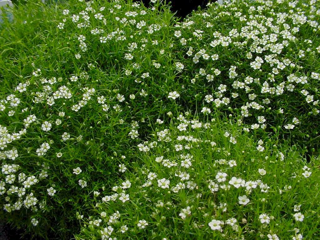 How to grow irish moss ground cover - Irish Moss For Cake