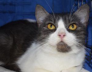 Adopt Diamond On Petfinder Cat Adoption Adoption Day Cute Cats