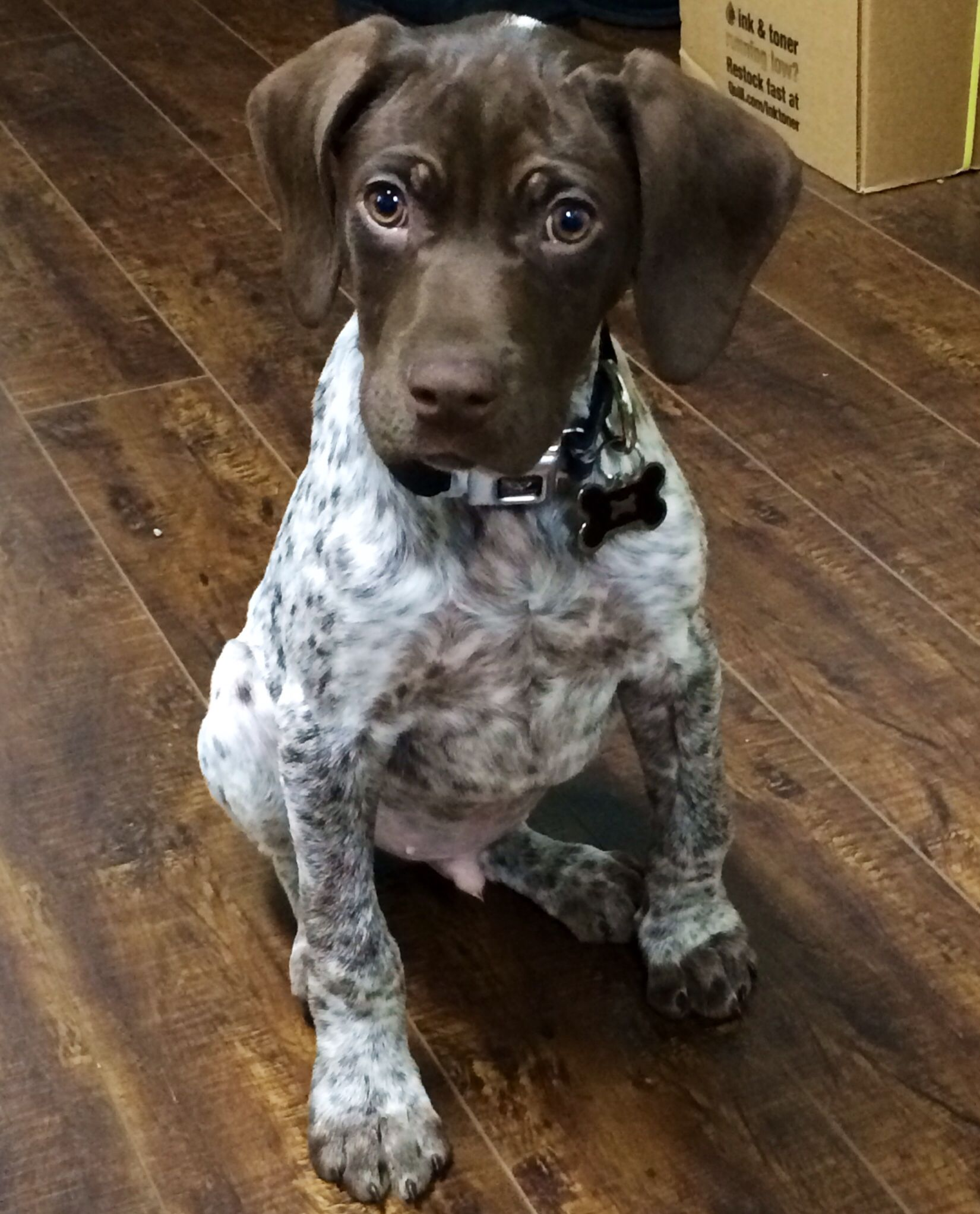 Our german shorthaired pointer puppy Diesel ) Our puppy