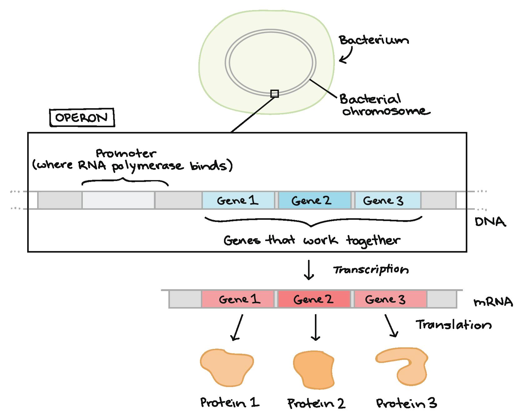 Overview: Gene regulation in bacteria (article) | Khan ...