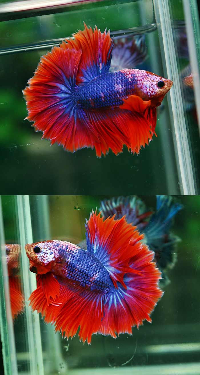 fwbettashm1457810892 - FANCY DRAGON OHM MALE#11 | Halfmoon Bettas ...