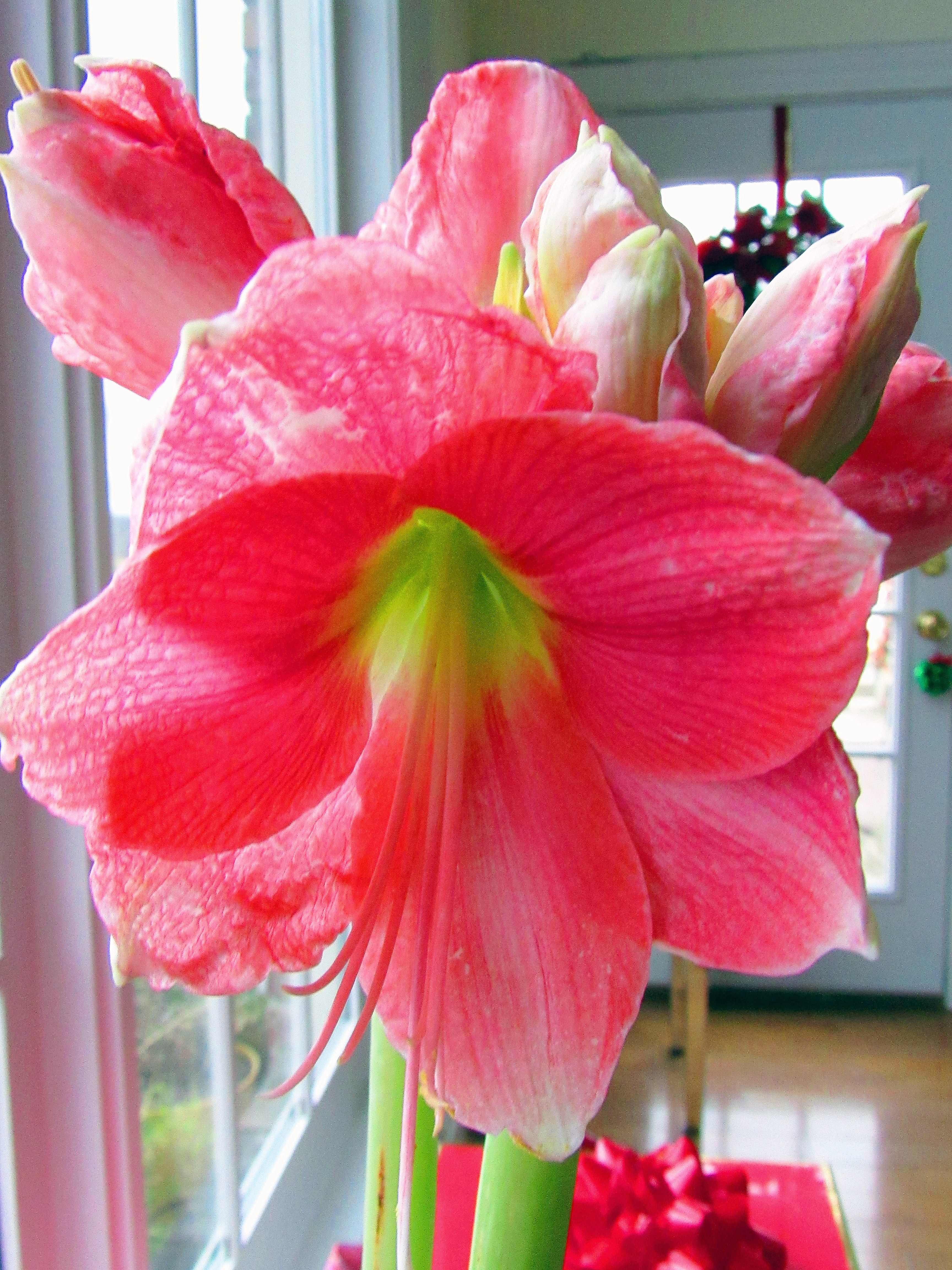 Susan Amaryllis With 8 Buds On 2 Stems The Bulb Was 7 At Walmart Amaryllis Flowers Amaryllis Day Lilies