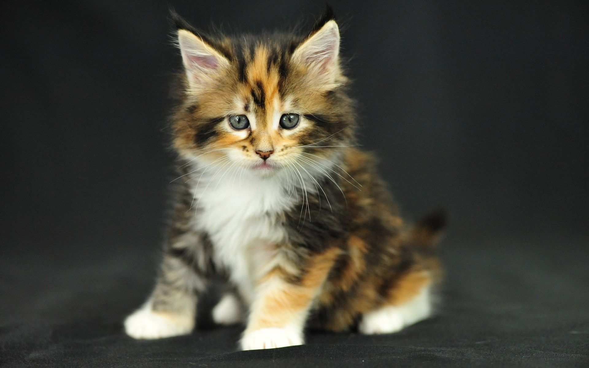 Maine Coon Cat Kitten Cute Kittens Pinterest