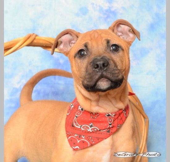 Bulloxer dog for Adoption in Holly Springs, NC. ADN791039