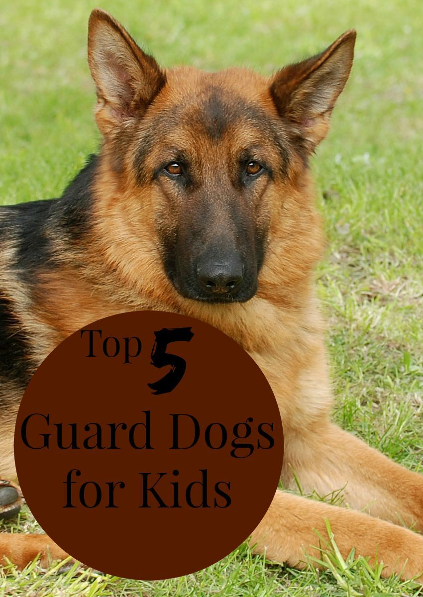 Top 5 Guard Dogs For Kids Dogvills Guard Dogs Best Guard Dogs