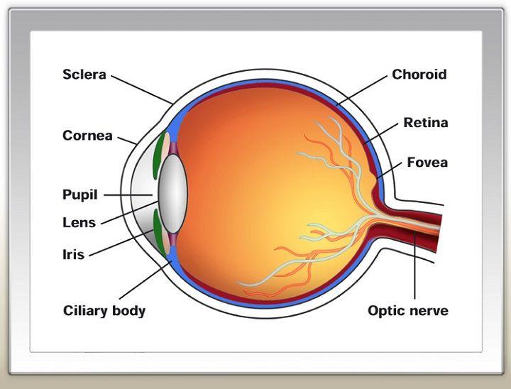 Printable Human Eye Diagrams Diagram Site Of The | Human ...