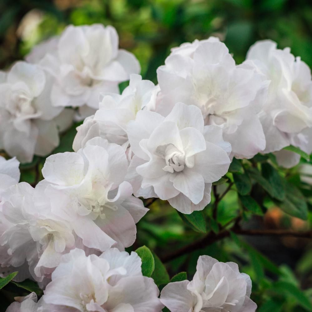 National Plant Network 2 25 Gal Azalea Hardy Gardenia Flowering