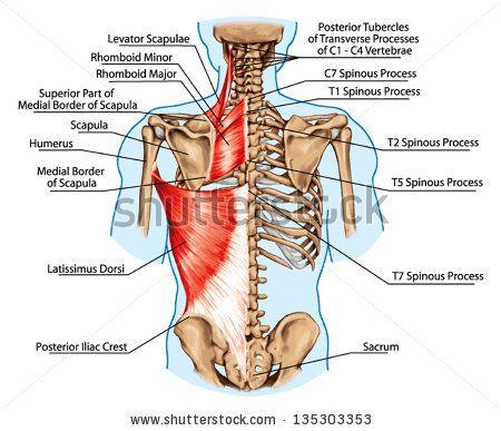 Rhomboid minor and rhomboid major, levator scapulae and latissimus ...