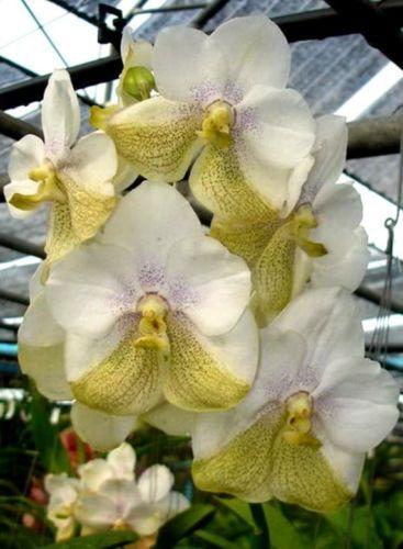 vanda orchidee nakorn sawan bell x tubtim velvet bluhfahig. Black Bedroom Furniture Sets. Home Design Ideas
