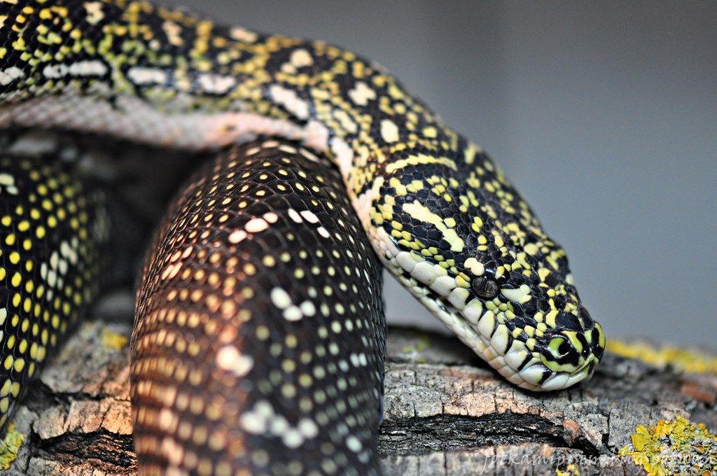 Dijamantni Piton Lizard Reptiles Snake