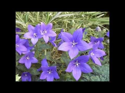 платикодон цветок фото и описание выращиваемые