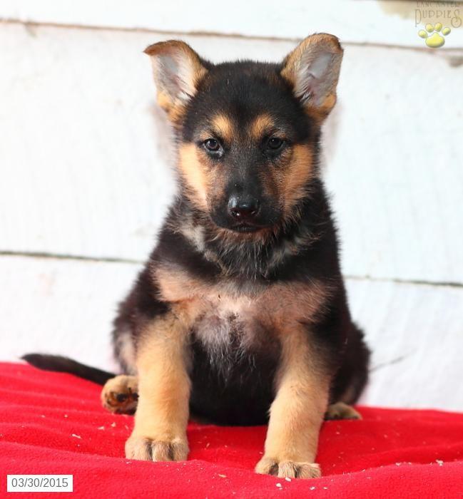 german shepherd mix puppies for sale lancaster puppies - 649×700