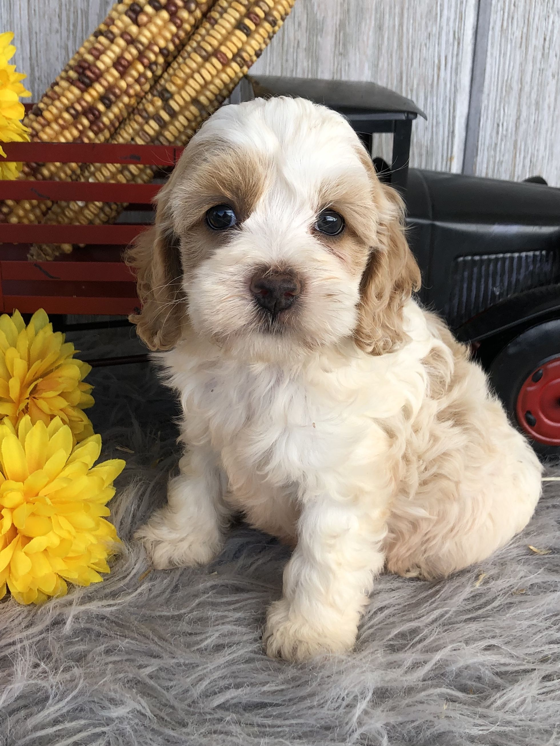 Puppies for Sale Cockapoo puppies, Puppy dog eyes