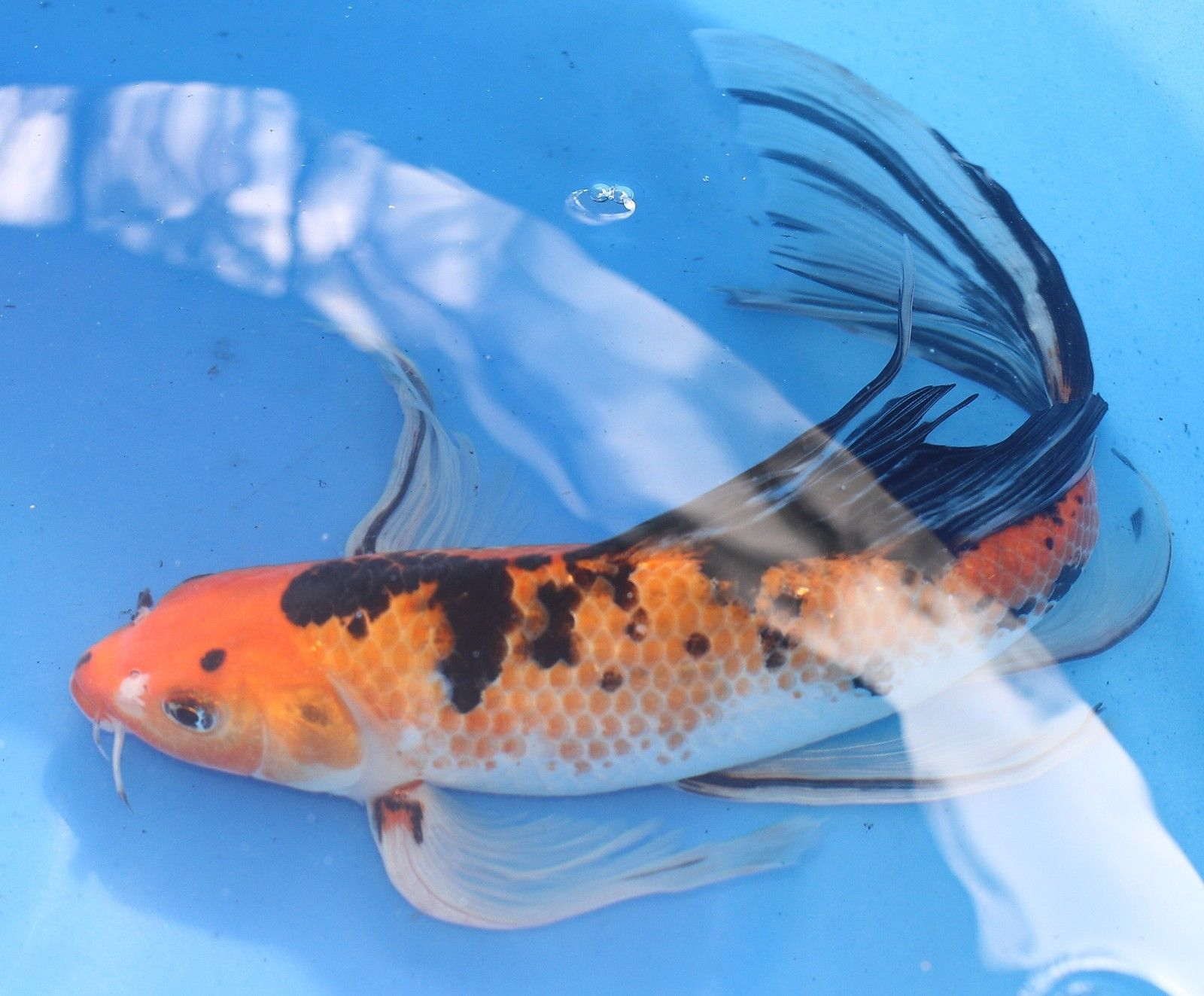 11 inch hi utsuri butterfly fin live koi fish fko 55 for Koi fish tail
