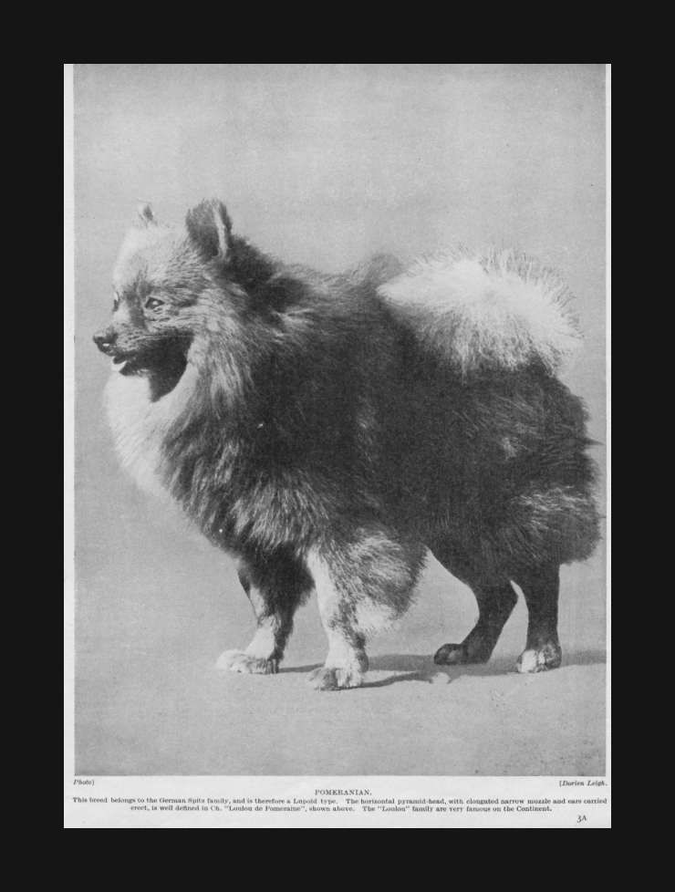 Pomeranian Champion Dog Vintage Print Authentic 1935 Ebay