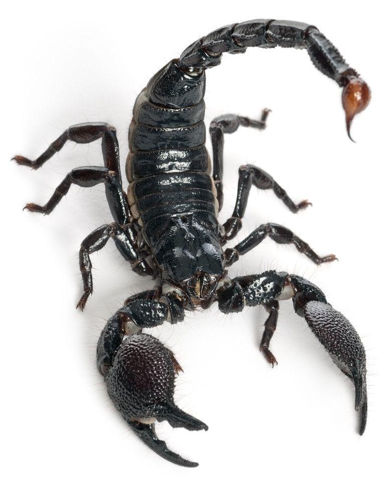 Scorpion Facts | ART | Scorpion, Deadly animals, Animal facts