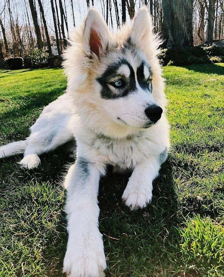 Pin by Stephanie Collander on Huskys Really cute dogs