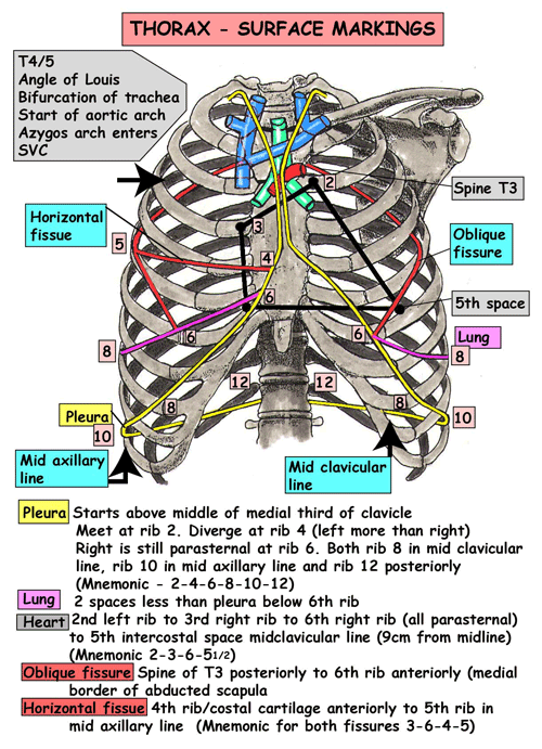 Instant Anatomy - Thorax - Areas/Organs - Respiratory system ...