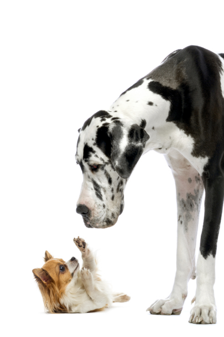 Great Dane Looking At A Chihuahua In Front Of A White Background Chihuahua Cute Chihuahua Great Dane