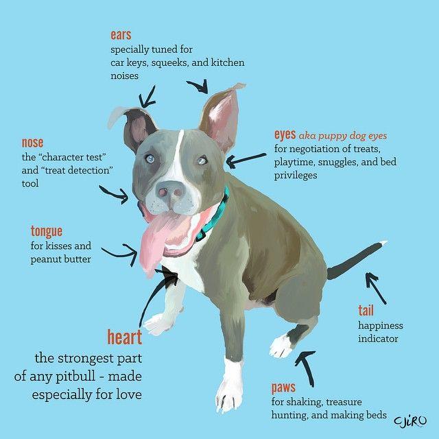 Anatomy Of A Pitbull Pitbulls Pitbull Awareness Month Puppy
