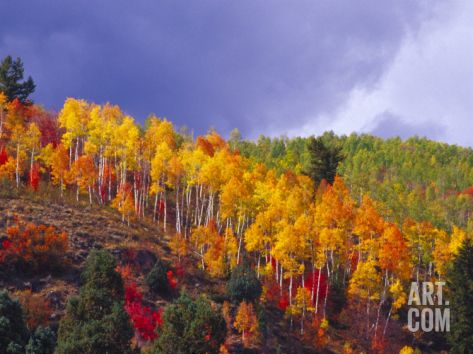 Colorful Aspens in Logan Canyon, Utah, USA Photographic Print by Julie Eggers at Art.com
