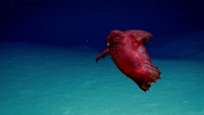 Headless Chicken Monster Caught On Video Near Antarctica Science Aaas Deep Sea Creatures Deep Sea Sea Cucumber