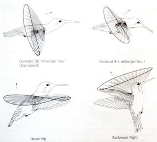 Acravan Ornicopia 11 Are Hummingbirds The Only Birds That Fly Backward Hummingbird Flight Patterns Scientific Illustration