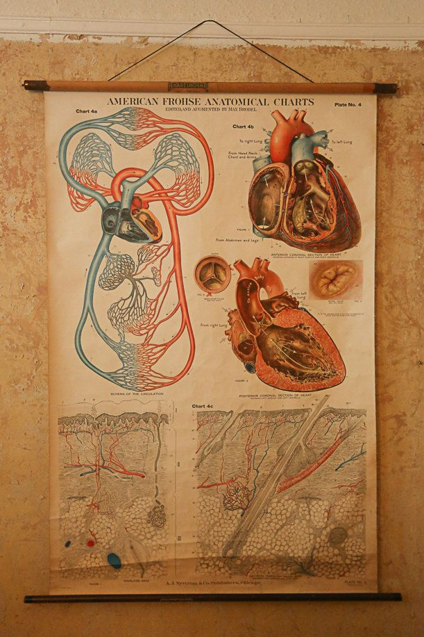 Gorgeous wall chart of the circulation heart  amp skin by max brodel this also best vintage anatomical medical charts images rh pinterest